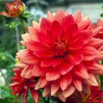 Георгина цветов