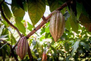 Какао-дерево