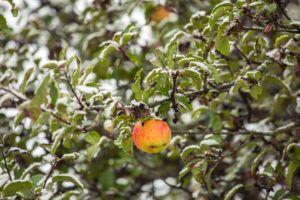Не опадают листья яблони