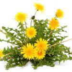 Одуванчик - растение-индикатор