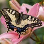 Если крупные бабочки не садятся на цветы - к ясной погоде, садятся - к дождю