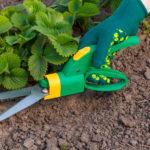 Обрезка листвы и усов-бегунков - второй этап в уходе за клубникой после урожая