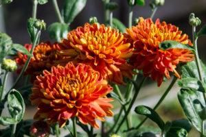Хризантема помогает в лечении многих недугов